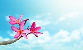 Λουλούδι Plumeria στο μπλε ουρανό Στοκ Εικόνα