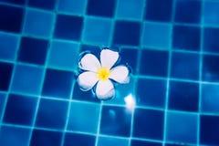 Λουλούδι Plumeria στο νερό Στοκ Εικόνα