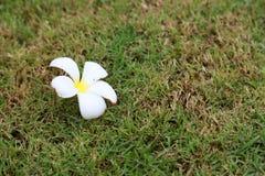 Λουλούδι Plumeria στο πάτωμα χλόης Στοκ φωτογραφία με δικαίωμα ελεύθερης χρήσης