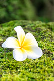 Λουλούδι Plumeria στο πράσινο βρύο Στοκ Εικόνες