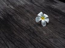 Λουλούδι Plumeria στο σκοτεινό ξύλινο πάτωμα τόνου Στοκ φωτογραφία με δικαίωμα ελεύθερης χρήσης