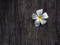 Λουλούδι Plumeria στο σκοτεινό ξύλινο πάτωμα τόνου Στοκ Φωτογραφία