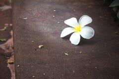 Λουλούδι Plumeria στο σκυρόδεμα με τη φύση Στοκ Εικόνες