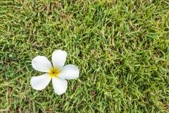 Λουλούδι Plumeria στο υπόβαθρο χλόης Στοκ Φωτογραφίες