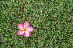 Λουλούδι Plumeria στο υπόβαθρο χλόης Στοκ εικόνα με δικαίωμα ελεύθερης χρήσης