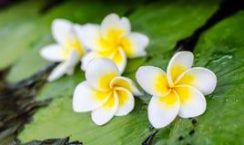 Λουλούδι Plumeria στο φύλλο Στοκ εικόνες με δικαίωμα ελεύθερης χρήσης