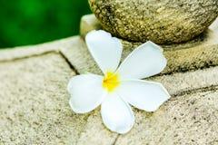 Λουλούδι Plumeria στο chiangmai Ταϊλάνδη Στοκ εικόνες με δικαίωμα ελεύθερης χρήσης