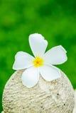 Λουλούδι Plumeria στο chiangmai Ταϊλάνδη Στοκ Φωτογραφίες