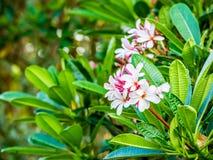 Λουλούδι Plumeria στο chiangmai Ταϊλάνδη Στοκ Εικόνα
