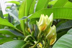 Λουλούδι Plumeria όμορφος κίτρινος στο δέντρο Στοκ Εικόνες
