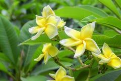 Λουλούδι Plumeria όμορφος κίτρινος στο δέντρο Στοκ φωτογραφία με δικαίωμα ελεύθερης χρήσης