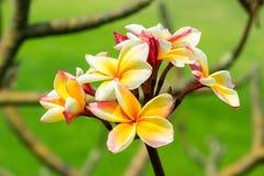 Λουλούδι Plumeria. Στοκ Φωτογραφία