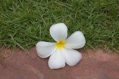 Λουλούδι Plumeria Στοκ Φωτογραφίες