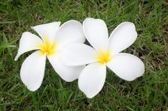 Λουλούδι Plumeria Στοκ εικόνες με δικαίωμα ελεύθερης χρήσης