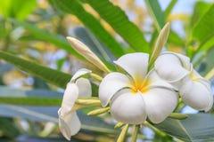 Λουλούδι Plumeria Στοκ φωτογραφίες με δικαίωμα ελεύθερης χρήσης