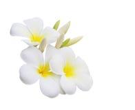 Λουλούδι Plumeria Στοκ Εικόνα