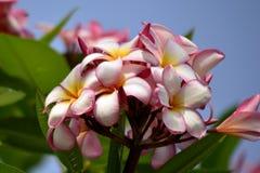 Λουλούδι Plumeria Στοκ εικόνα με δικαίωμα ελεύθερης χρήσης