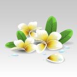 Λουλούδι Plumeria διανυσματική απεικόνιση