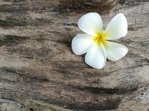 Λουλούδι Plumeria Στοκ φωτογραφία με δικαίωμα ελεύθερης χρήσης