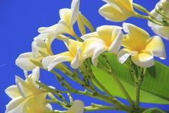Λουλούδι Plumeria Στοκ Φωτογραφία