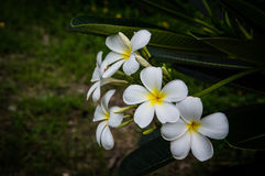 Λουλούδι Plumeria backgrongd Στοκ Φωτογραφίες
