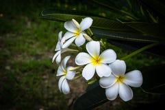 Λουλούδι Plumeria backgrongd Στοκ εικόνες με δικαίωμα ελεύθερης χρήσης
