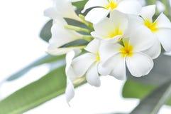 Λουλούδι Plumeria, Frangipani ή δέντρο παγοδών Στοκ φωτογραφία με δικαίωμα ελεύθερης χρήσης