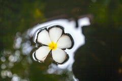Λουλούδι Plumeria (Frangipani) που επιπλέει στην επιφάνεια του νερού Στοκ φωτογραφία με δικαίωμα ελεύθερης χρήσης