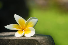 Λουλούδι Plumeria (Frangipani) Στοκ φωτογραφίες με δικαίωμα ελεύθερης χρήσης
