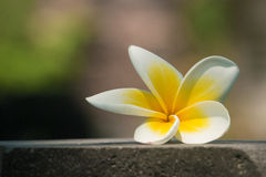 Λουλούδι Plumeria (Frangipani) Στοκ Φωτογραφίες