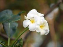 Λουλούδι Plumeria Leelawadee Στοκ Εικόνα