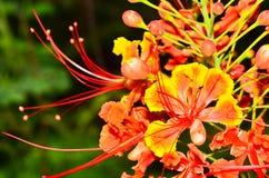 Λουλούδι Poinciana Στοκ φωτογραφία με δικαίωμα ελεύθερης χρήσης