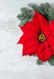 Λουλούδι Poinsettia Χριστουγέννων και κλάδοι δέντρων έλατου Στοκ Φωτογραφίες