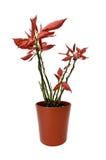 Λουλούδι Poinsettia Στοκ Εικόνα