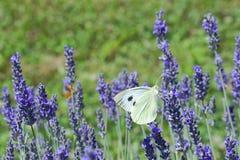 Λουλούδι Polination Lavander Στοκ φωτογραφία με δικαίωμα ελεύθερης χρήσης
