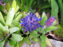 Λουλούδι Portia Bromeliacea Στοκ Φωτογραφία