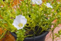 Λουλούδι Portulaca Στοκ Εικόνες