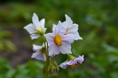 Λουλούδι Potatoe Στοκ Εικόνες