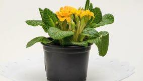 Λουλούδι Primula απόθεμα βίντεο