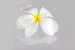 Λουλούδι Pudica Plumeria Στοκ φωτογραφία με δικαίωμα ελεύθερης χρήσης