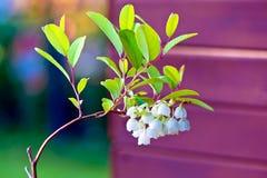 Λουλούδι pulverulenta Zenobia Στοκ φωτογραφίες με δικαίωμα ελεύθερης χρήσης