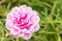 Λουλούδι Pusley (oleracea Portulaca) Στοκ εικόνα με δικαίωμα ελεύθερης χρήσης
