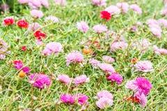 Λουλούδι Pusley (oleracea Portulaca) Στοκ φωτογραφία με δικαίωμα ελεύθερης χρήσης