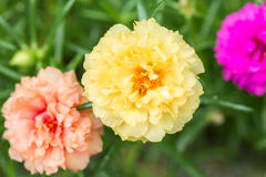 Λουλούδι Pusley (oleracea Portulaca) Στοκ Φωτογραφία
