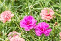 Λουλούδι Pusley (oleracea Portulaca) Στοκ Φωτογραφίες