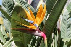 Λουλούδι Reginae Strelitzia, λουλούδι πουλιών του παραδείσου Στοκ φωτογραφίες με δικαίωμα ελεύθερης χρήσης