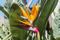 Λουλούδι Reginae Strelitzia, λουλούδι πουλιών του παραδείσου Στοκ Φωτογραφία