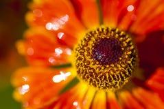 Λουλούδι Rudbeckia πυρκαγιάς, ταραχή των χρωμάτων Στοκ εικόνα με δικαίωμα ελεύθερης χρήσης