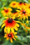 Λουλούδι Rudbeckia Στοκ Φωτογραφίες