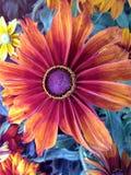 Λουλούδι Rudbeckia Cappuccino Στοκ εικόνα με δικαίωμα ελεύθερης χρήσης
